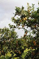 QUANTI ANNI ci vuole un albero di limone per ottenere frutta?