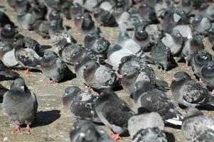 Controllo dei parassiti per gli uccelli e Ratti