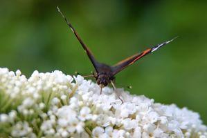 Come potare un Nano farfalla Bush