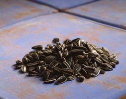 Come raccogliere i semi di girasole per reimpianto