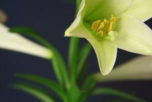 Pasqua Lily fatti