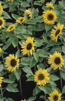 Che tipo di semi di girasole sono usati per coltivare il Sunflower Verdi?