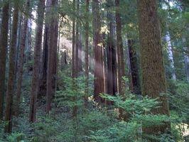Cura e manutenzione di Redwood