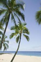 Come fare un Coconut Palm crescere in fretta