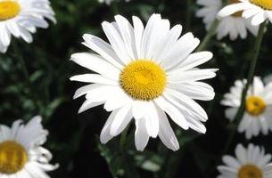 I miei Marguerite Daisy foglie si stanno rivolgendo giallo