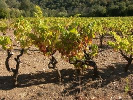 Come piantare semi d'uva vino