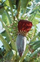 Ingiallimento Banana foglie delle piante