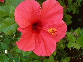 Che cosa è una pianta Hibiscus con colori diversi in It?