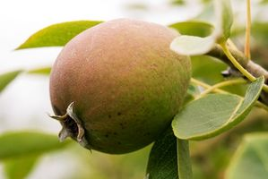 Come piantare alberi da frutto nano in Michigan