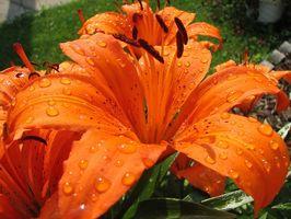 Parti di un fiore del giglio di giorno