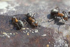 Soluzioni per Killing formiche del fuoco