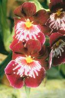 Macchie nere sulle foglie di un'orchidea