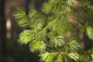Che cosa è un albero conifera?