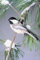 Come catturare gli uccelli con trappole fatte in casa Senza Killing Them