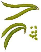 Gli effetti dei livelli di pH in acqua su Bean germinazione