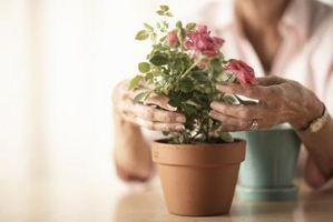Ho un nido della formica in My Vaso di fiori