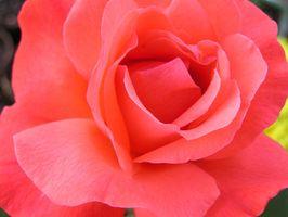 Elenco dei Roses Ibridi di Tea