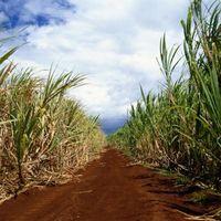 Varietà ibride di canna da zucchero in USA