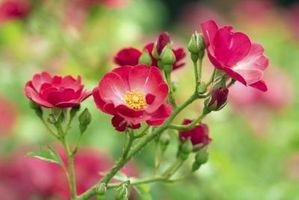 Come potare Wild Roses