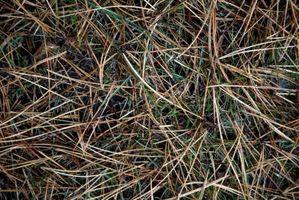 Quali sono le cause di un albero per perdere i suoi aghi?