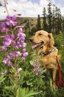 Cespugli, arbusti e alberi che sono tossici per i cani