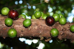 Come identificare alberi tropicali di frutta