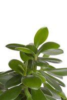 Il mio Jade pianta ha le foglie arricciate