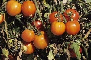 Piante di pomodori con il giallo appassito Foglie