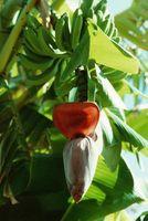 Come coltivare idroponici Banane