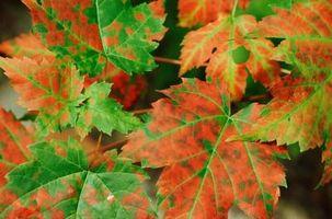 Acero foglie sono di colore giallo e Wilting
