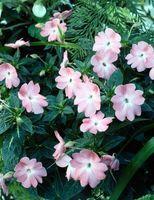Come coltivare Catharanthus Roseus