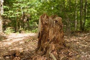 Come ripiantare dopo la rimozione dell'albero Chemical Stump