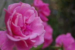 Come sono impollinati Roses?