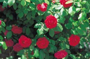 Foglie gialle su cespugli di rose