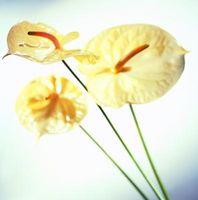 Perché sono le mie foglie ingialliscono Anthurium?