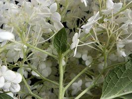 Bianche fiorite piante di ombra parziale