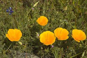 Come piantare California Semi di papavero