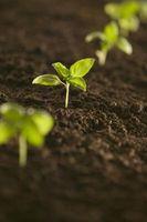 Come far germinare i semi fiore nel paese