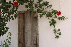 Fioritura Vines che crescono in ombra parziale
