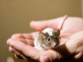 Come sbarazzarsi di topi nel soffitto
