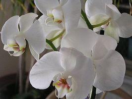 Come coltivare orchidee epifite
