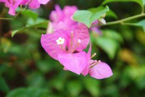 Bougainvillea Leaf Curl