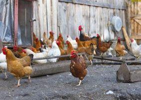 Come pulire pollai