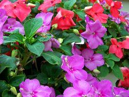 La germinazione dei fiori annuali