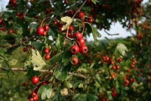 Come coprire Cherry Trees dagli uccelli