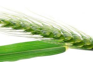 Come far germinare i semi di grano