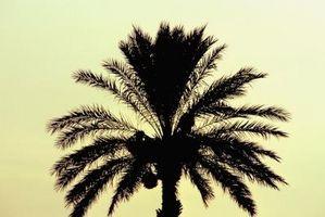 Come potare un Phoenix Canary Palm