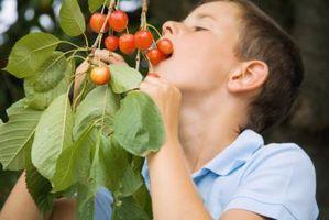 Si può crescere un albero di ciliegio da un Cherry Pit?