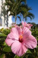 Sono hawaiane Piante e fiori velenosi per gli animali domestici?