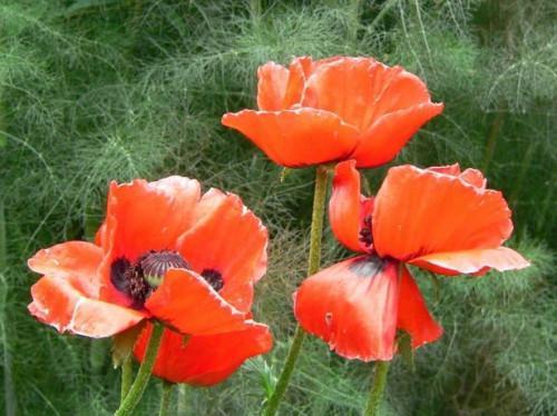 Il momento migliore per piantare Semi di papavero